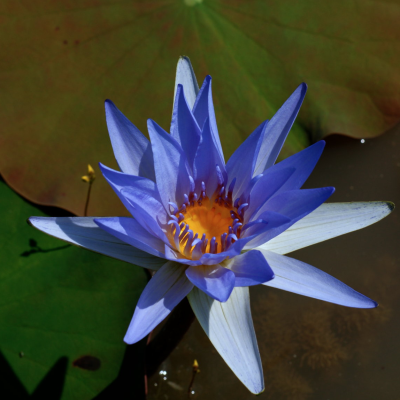 sacred blue lotus lily flower