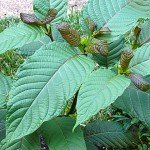 keep kratom legal in the United States (mitragyna speciosa)