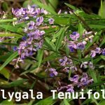 Polygala Tenuifolia is an amazing mood-boosting traditional herb