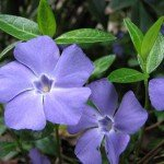 vinpocetine, a derivative of periwinkle (vinca minor)